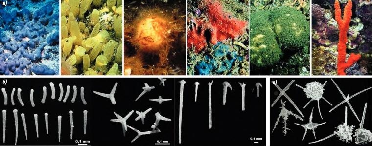 Современные губки (а), спикулы губок (б) и скелеты радиолярий (в). Губки (Porifera) - одни из самых примитивных многоклеточных животных. Они процветают поныне и широко представлены в палеонтологической летописи. Целые губки сохраняются редко, чаще - отдельные кремневые или известковые спикулы, из которых состоит их скелет.